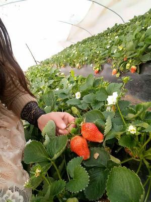 河南省郑州市中牟县甜查理草莓 30克以上
