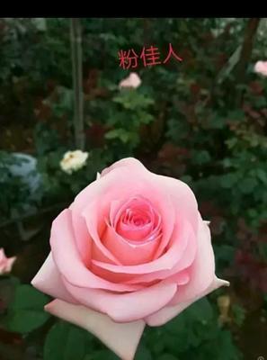 云南省昆明市呈贡区粉色玫瑰苗