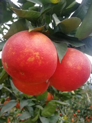 重庆长寿区塔罗科血橙 60mm 2两