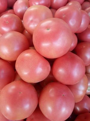 四川省攀枝花市米易县硬粉番茄 精品 弧三以上 硬粉