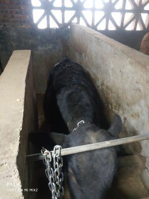 湖南省怀化市溆浦县安格斯牛 400-600斤 公牛