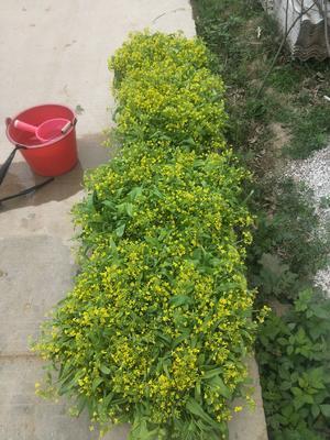 广西壮族自治区贵港市港南区白菜心 10cm以上