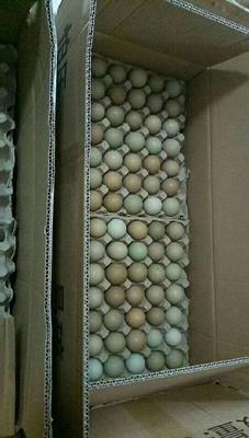 辽宁省葫芦岛市龙港区绿壳鸡蛋 孵化 箱装