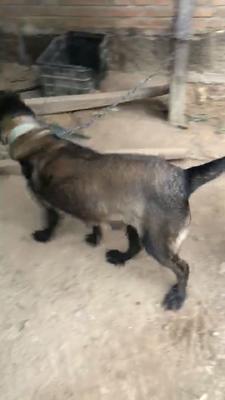 这是一张关于马犬 的产品图片