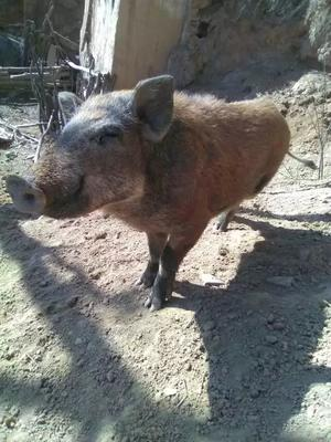 陕西省延安市宜川县黑猪 60斤以上