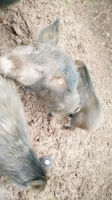 四川省巴中市平昌县特种野猪 120斤以上 公