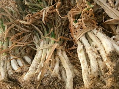 天津宝坻区五叶齐大葱 30cm以下 净葱