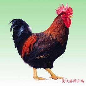 这是一张关于快大麻鸡 的产品图片