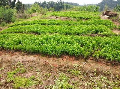 这是一张关于红橘苗 移栽苗 0.2米以下 的产品图片