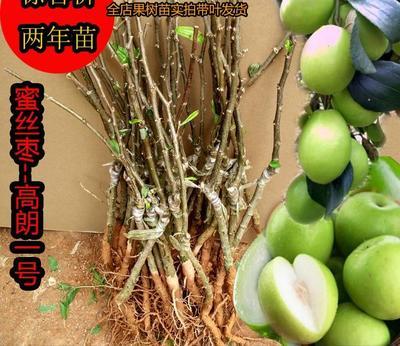 这是一张关于高朗一号蜜枣苗 的产品图片