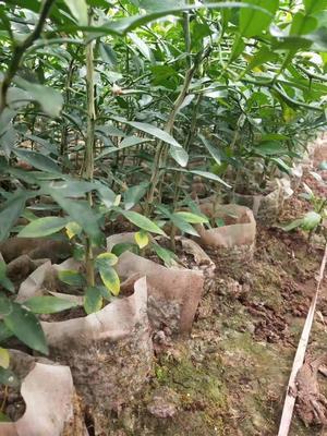 这是一张关于香橙苗 杯苗袋苗 0.5~1米 的产品图片