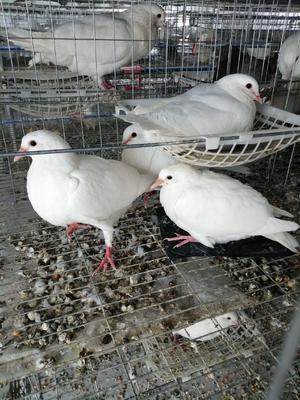 新疆维吾尔自治区克拉玛依市克拉玛依区乳鸽 新鲜