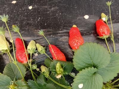 山东省青岛市黄岛区甜宝草莓 20克以上