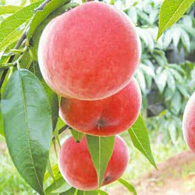 这是一张关于水蜜桃苗 0.5~1米 的产品图片