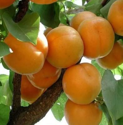 这是一张关于凯特杏苗 的产品图片