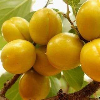这是一张关于珍珠油杏苗 的产品图片