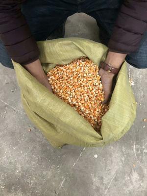 云南省大理白族自治州宾川县玉米干粮 净货 水份14%-16%