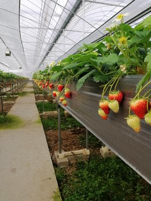 湖北省宜昌市夷陵区红颜草莓 30克以上