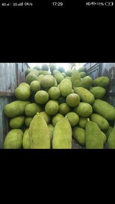 海南省海南省陵水黎族自治县海南菠萝蜜 15斤以上