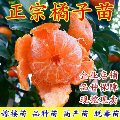 这是一张关于砂糖橘苗 嫁接苗 0.5~1米 的产品图片