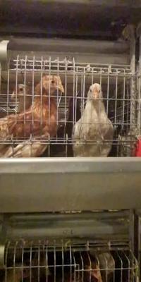 这是一张关于蛋鸡 2-3斤 母 的产品图片