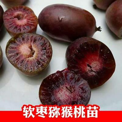 这是一张关于脐红猕猴桃苗 嫁接苗 的产品图片