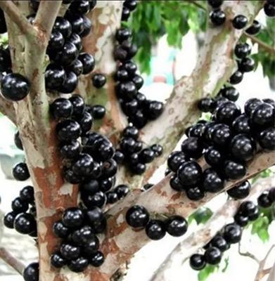 这是一张关于树葡萄苗 嘉果宝2年苗 带分枝的产品图片