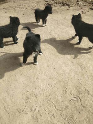 这是一张关于萨摩耶犬 的产品图片