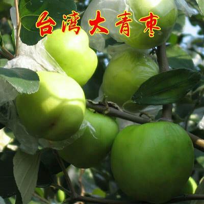 这是一张关于台湾大青枣苗 的产品图片