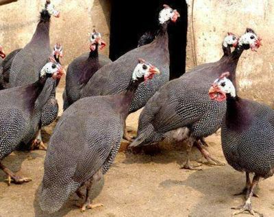 宁夏回族自治区银川市金凤区灰色珍珠鸡 2-4斤