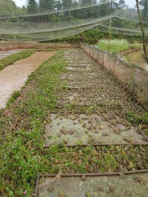 江西省抚州市宜黄县黑斑蛙 一百五十亩可长期供货