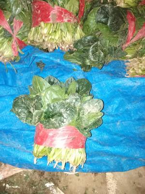 这是一张关于大叶菠菜 20~25cm 的产品图片