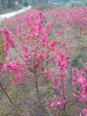 这是一张关于桃花心木 的产品图片