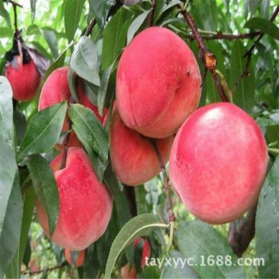 这是一张关于春丽桃树苗 1~1.5米 的产品图片