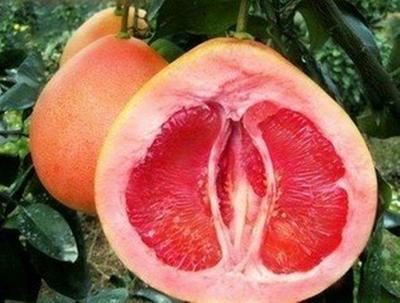 这是一张关于三红蜜柚苗 的产品图片