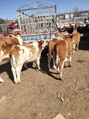 贵州省毕节市威宁彝族回族苗族自治县安格斯牛 400-600斤 公牛