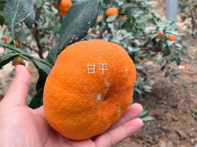 这是一张关于甘平柑橘苗 嫁接苗 0.5~1米 的产品图片