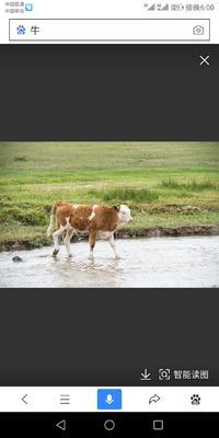 这是一张关于西门塔尔牛 400-600斤 母牛 的产品图片