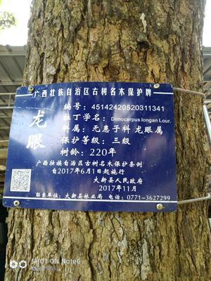 广西壮族自治区崇左市大新县大广眼龙眼  5mm以上 百年生态老龙眼