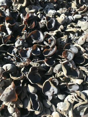 这是一张关于干黑山冬耳 1年以上 的产品图片