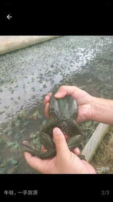 这是一张关于牛蛙 的产品图片