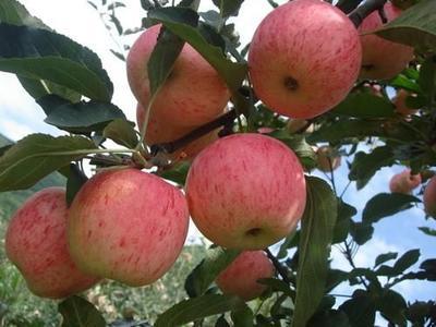 山东省泰安市岱岳区美国八号苹果苗 1~1.5米