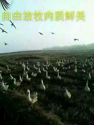 广西壮族自治区钦州市灵山县雁鹅苗
