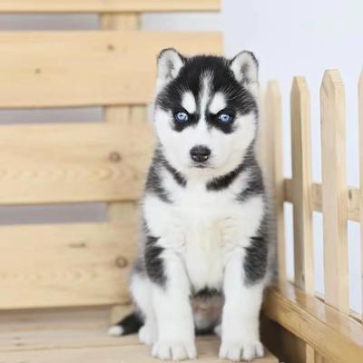这是一张关于拉布拉多犬 的产品图片