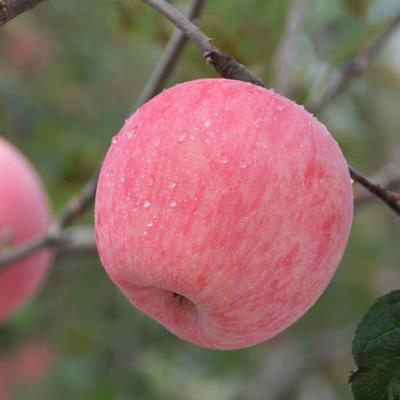 这是一张关于红富士苹果 70mm以上 条红 纸袋 的产品图片