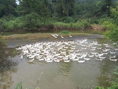 江西省宜春市高安市土鸭 2-3斤 母 全散养