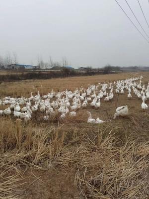 安徽省六安市金安区皖西大白鹅 10-12斤 统货 半圈养半散养