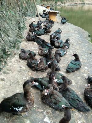 广西壮族自治区贵港市桂平市番鸭 4-5斤 母 全散养