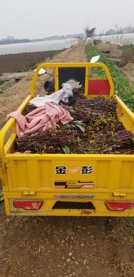湖北省荆州市荆州区红菜苔 40~45cm