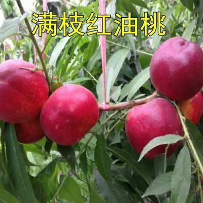 山东省临沂市平邑县油桃苗 0.5~1米